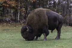 Large grazing American field buffalo Royalty Free Stock Images