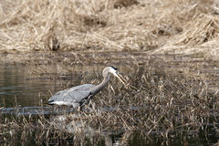 Heron with fish. Royalty Free Stock Photography