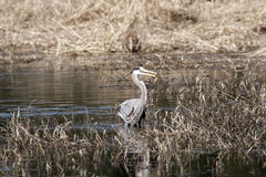 Heron just caught fish. Royalty Free Stock Photography