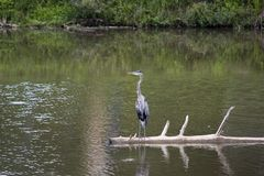 Great blue heron on fallen tree stock images