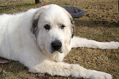Large Great Pyrenees Laying on Lawn Stock Photography