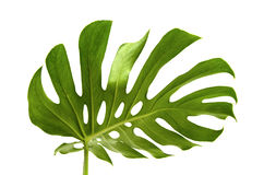 Large greef shiny leaf of monstera Stock Photos