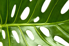 Large greef shiny leaf of monstera Stock Images