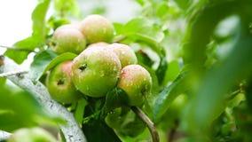 Large green apple on an apple tree stock footage