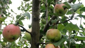 Large green apples hanging on branches in apple orchard. Ripe fruits hanging on branch. stock video footage