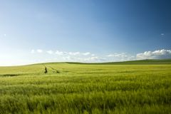Large green barley field stock photography