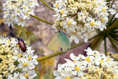 A large green beetle and Butterfly Stock Photo