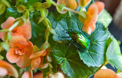Large green beetle Stock Images