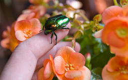Large green beetle. Cetonia aurata - large green beetle enemy of gardeners Stock Photography