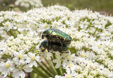 A large green beetles Royalty Free Stock Images