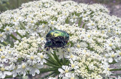 A large green beetles Stock Image