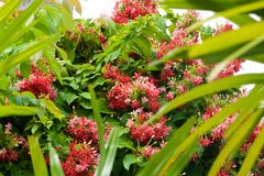 A large green bush with many small pink Rangoon creeper flowers royalty free stock images