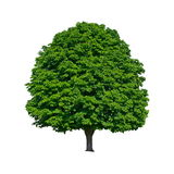 Large green chestnut tree grows in isolation Royalty Free Stock Photography