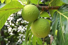 Large green citrus fruit on the tree Stock Images