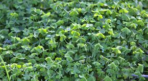Large green clover field in forest .background of four leaf clover Stock Photos