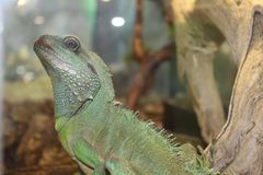 A large green, cold-blooded lizard Stock Photos