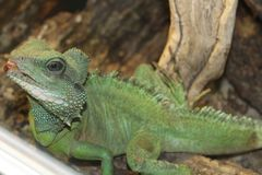 A large green, cold-blooded lizard Stock Photography