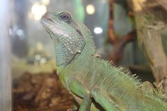 A large green, cold-blooded lizard Stock Images