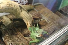 A large green, cold-blooded lizard Royalty Free Stock Image