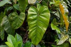 A large green elephant ear plant leaf Colocasia in a jungle forest. A large green elephant ear plant leaf Colocasia in a jungle forest on the big island of stock photos