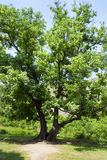A large green elm tree. An old tree in the monastery of Goshavank in Armenia. stock photos