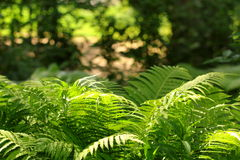 Large green fern  in the forest Royalty Free Stock Image