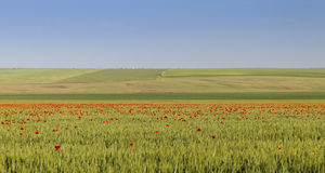 Large green field with a lot of scattered poppies. And gradient blue sky Stock Photos