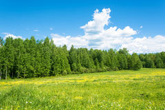 A large green field with yellow flowers. Stock Images