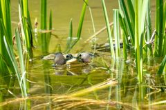 A large green frog sits in the marsh royalty free stock photo