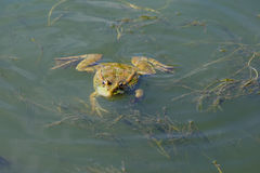 A large green frog swims in the water Stock Image