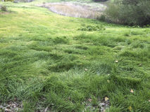 Large green Grass. At the park, Mountain House, CA. USA Royalty Free Stock Photography