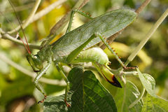Large green grasshopper. Royalty Free Stock Photo