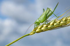 Large green grasshopper Royalty Free Stock Image
