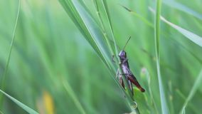Large green grasshopper sits on a blade of grass in a high fresh forest grass stock video