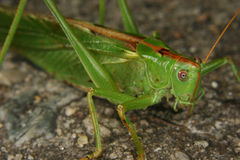 Large green grasshopper (Tettigonia viridissima) Stock Photography