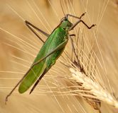 Large green grasshopper Royalty Free Stock Photography