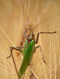 Large green grasshopper Stock Photo