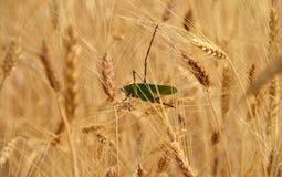 Large green grasshopper Stock Image