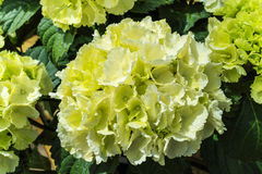 Large green Hydrangea flower. Stock Image