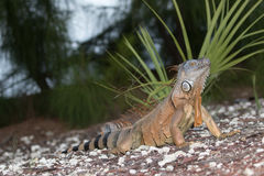 Large Green Iguana basking in the early morning sun. In South Florida Stock Photography
