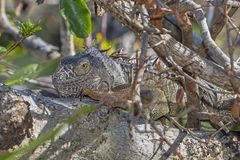 Green Iguana In Stealth Position. A large green iguana is blending in its environment while in a stealth position, trying not to be detected stock photography