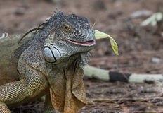 Large Green Iguana chewing on a piece of lettuce. In South Florida Stock Photo