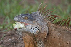 Large Green Iguana chewing on a piece of lettuce. In South Florida Royalty Free Stock Photo