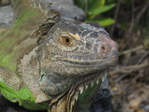 Large green iguana Stock Images