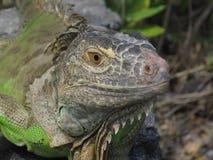 Large green iguana Stock Images