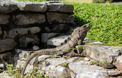 Large green iguana with long tail sunning on Tulum ruins in Mexico. Large green iguana sunning on rocks at Tulum ruins in a jungle in Mexico royalty free stock image