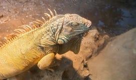 Large green iguana Stock Photography