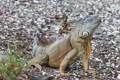 Large Green Iguana sitting in the morning sun. Large Green Iguana basking in the early morning sun in South Florida Royalty Free Stock Photos