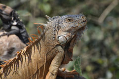 Large green iguana sunning on a rock. Closeup of large green iguana sunning on a rock in a jungle in Mexico. Iguanas are common in tropical areas of Mexico royalty free stock photo