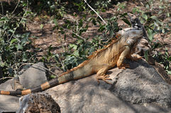Large green iguana sunning on a rock Royalty Free Stock Photos